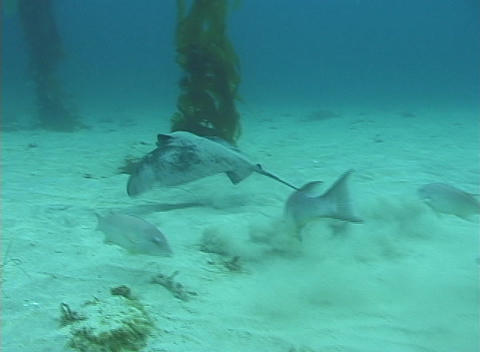 A stingray glides along the ocean floor in this underwater shot Footage