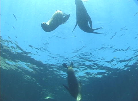 Seals dance and play near the surface of the water Stock Video Footage