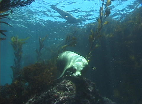 A curious seal plays underwater Stock Video Footage