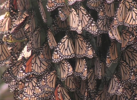 Monarch butterflies hang from a tree branch Stock Video Footage