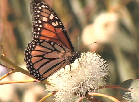 A Monarch butterfly sits on a flower Stock Video Footage