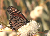 A Monarch butterfly sits on a flower Footage