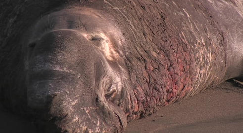 An elephant seal with a large nose sits on a beach Stock Video Footage