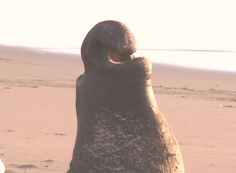 An elephant seal barks out a warning Stock Video Footage