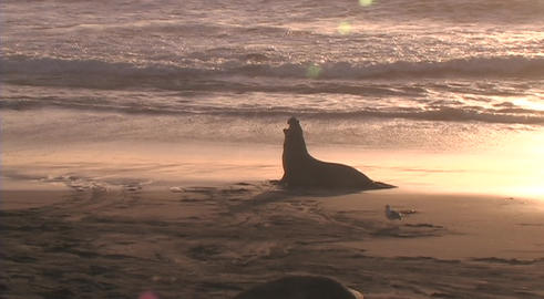 An elephant-seal barks in silhouette on beach Stock Video Footage