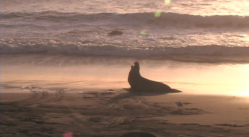 An elephant-seal barks in silhouette on beach Footage