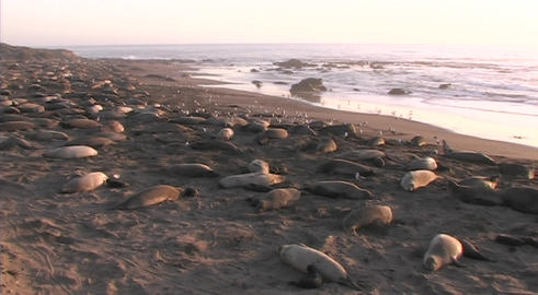 Elephant seals lounge on a scenic beach Footage