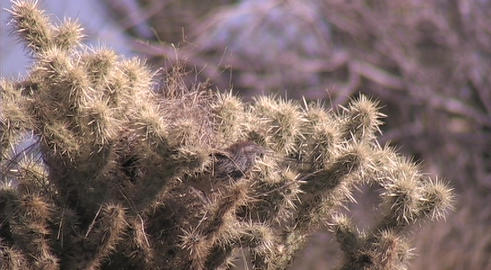 A cactus wren stands on the spikes of a cactus Footage