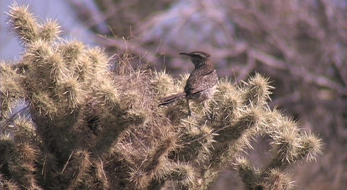 A cactus wren stands on the spikes of a cactus Stock Video Footage