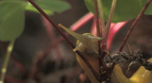 A banana slug crawls on the branch of a plant Stock Video Footage