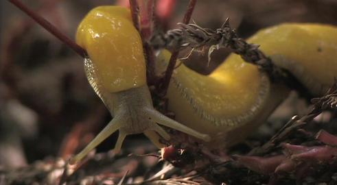 A banana slug crawls on the branch of a plant Stock Video Footage
