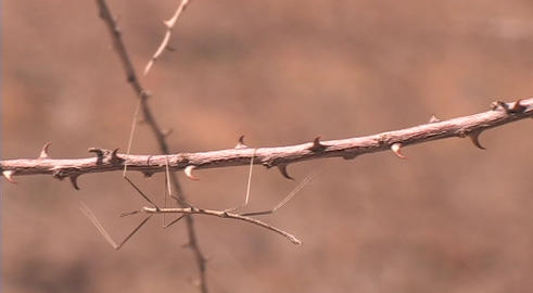 Pan across to a stick insect crawling along a branch Stock Video Footage