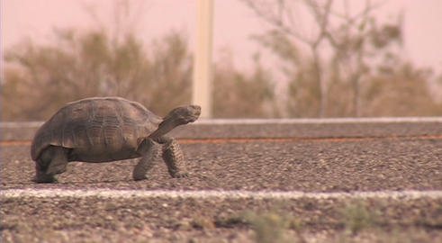A desert tortoise walks across a road Stock Video Footage