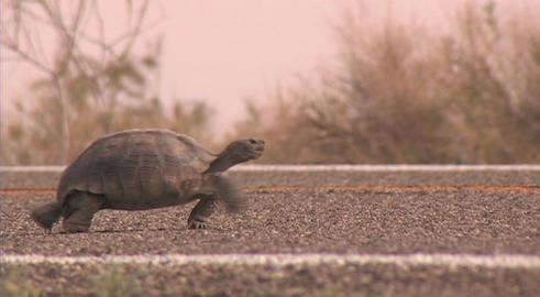 A desert tortoise walks across a road Footage