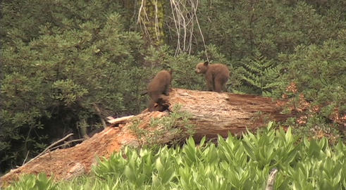 Baby bear cubs fights and wrestle atop a fallen tree Stock Video Footage