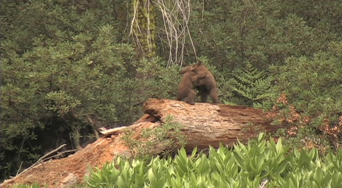 Baby bear cubs fights and wrestle atop a fallen tree Footage