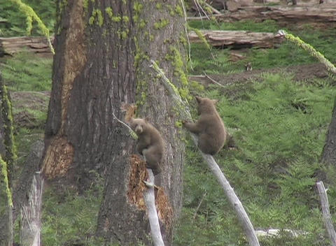 Cute bear cubs shimmy up and down tree branches Stock Video Footage