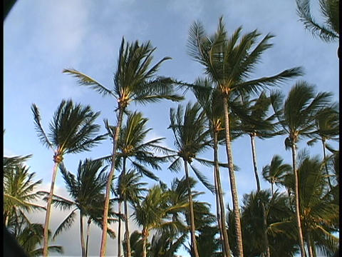 Hawaiian palm trees wave in the wind Footage