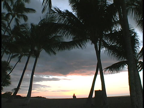 Hawaiian palm trees wave in the breeze Footage