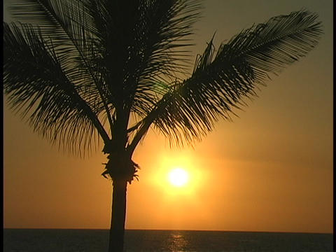 A palm tree sways gently in the breeze at golden hour Live Action