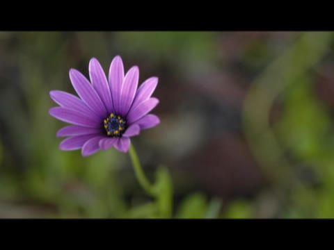 The petals on a purple flower open in the sunlight Footage