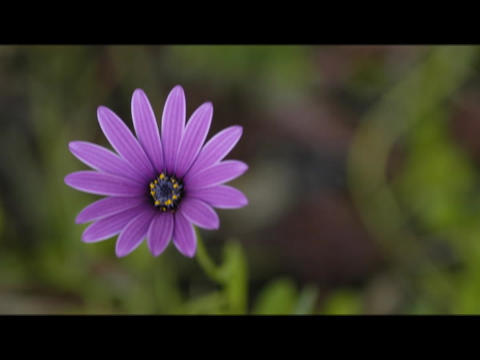 The petals on a purple flower open in the sunlight Stock Video Footage