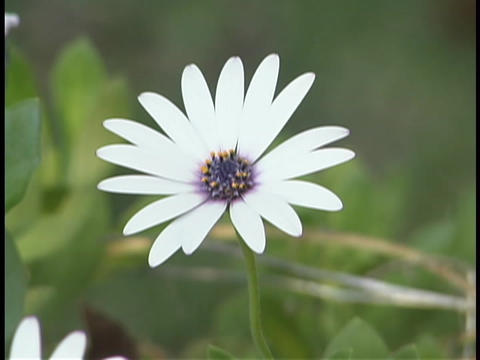 A daisy blooms open Stock Video Footage