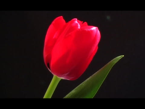 Petals slowly open on a tulip Stock Video Footage