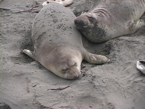 Sea lions lay on a beach next to each other Footage