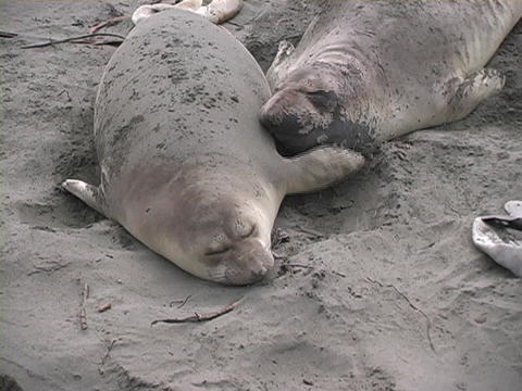 Sea lions lay on a beach next to each other Stock Video Footage