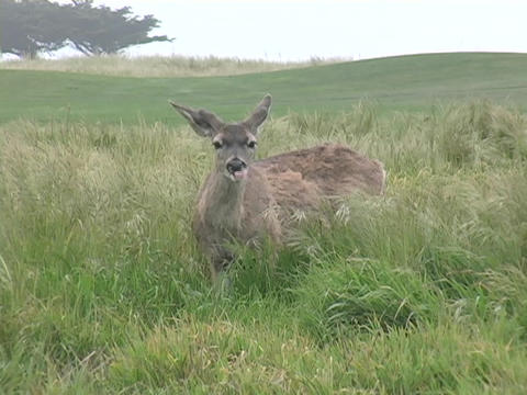 A deer in the grass looks around Stock Video Footage