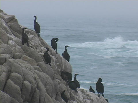 Black gulls sit on rocks near the ocean Stock Video Footage