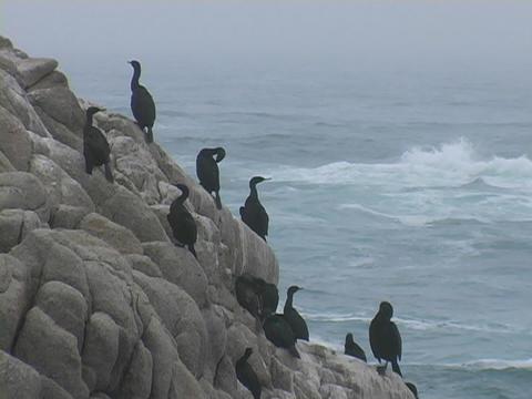 Black gulls sit on rocks near the ocean Stock Video Footage