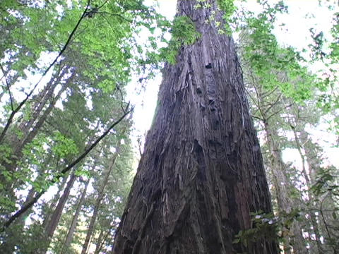 A tall redwood tree stands in a California forest Stock Video Footage