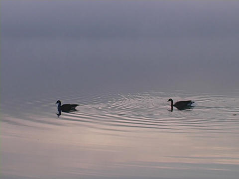 ducks are on top of a lake Stock Video Footage