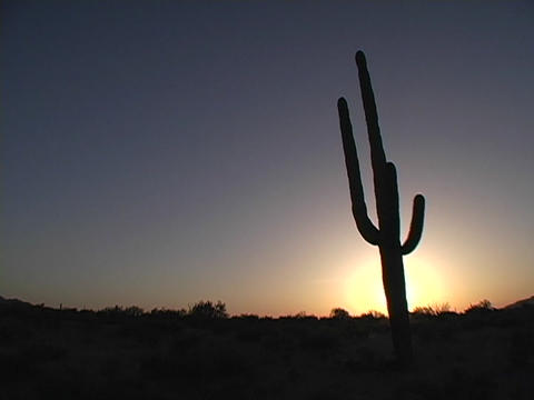 A desert cactus grows in Saguaro National Park, Arizona Stock Video Footage