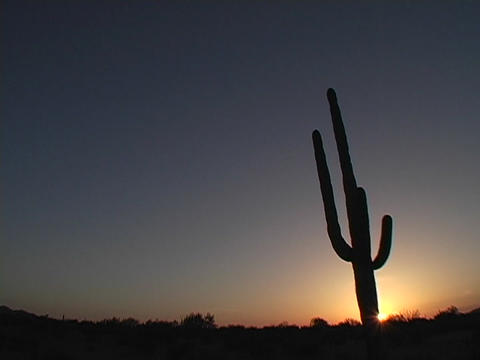 A cacti grows in Saguaro National Park, Arizona Footage