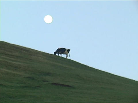 A cow grazes on a hill with the moon rising in the... Stock Video Footage