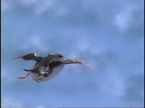 A Puffin flies through the air Stock Video Footage