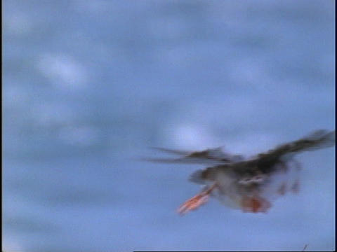 A Puffin flies through the air Footage