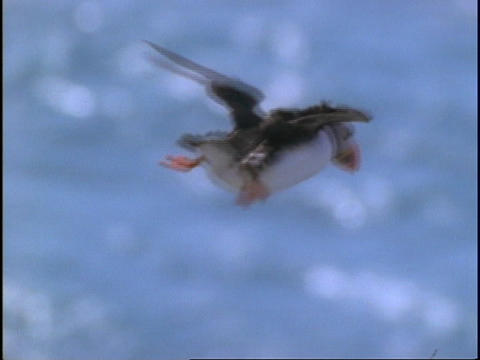 A Puffin flies through the air Stock Video Footage