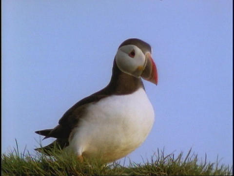 A Puffin walks on the grass Footage