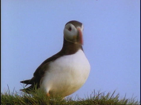 A Puffin walks on the grass Stock Video Footage
