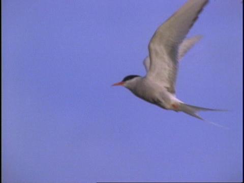 A seabird flies through the air Stock Video Footage