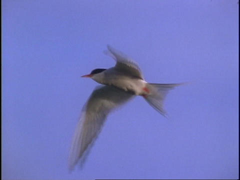 A seabird flies through the air Footage