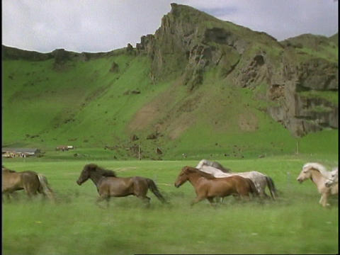 A cowboy herds horses across the fields of Iceland Footage