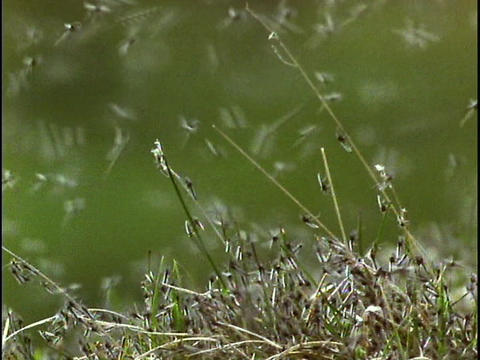 A new hatch of mosquitoes swarms the grasses Footage