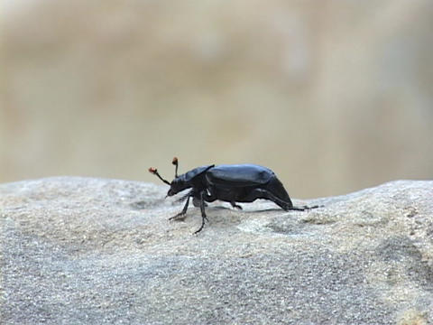 A black bug or insect crawls on a rock Stock Video Footage