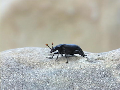 A black bug or insect crawls on a rock Live Action