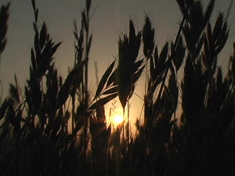 Wind blows fields of wheat Stock Video Footage